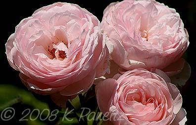Hudson Gardens Roses