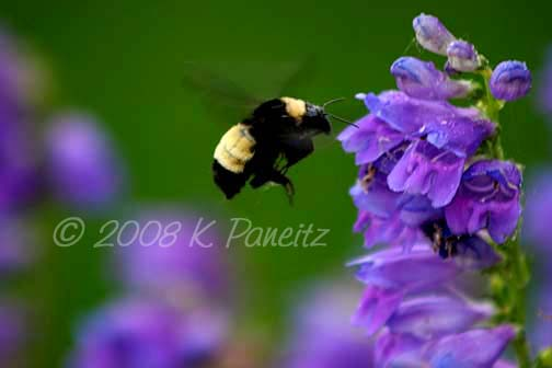 Bumblebee on penstemon
