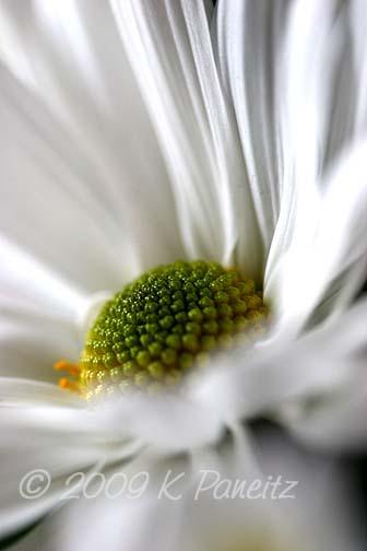 White Daisy1