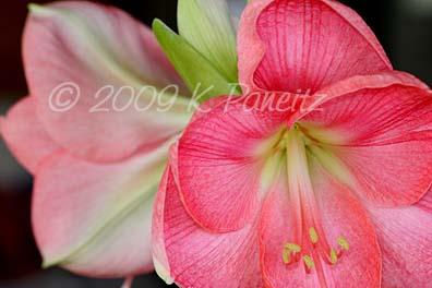 Amaryllis Pink Lady3