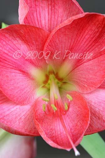 Amaryllis Pink Lady5