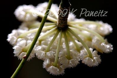 Hoya Blossom