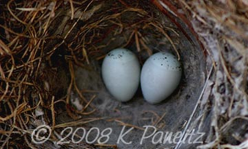 House finch eggs