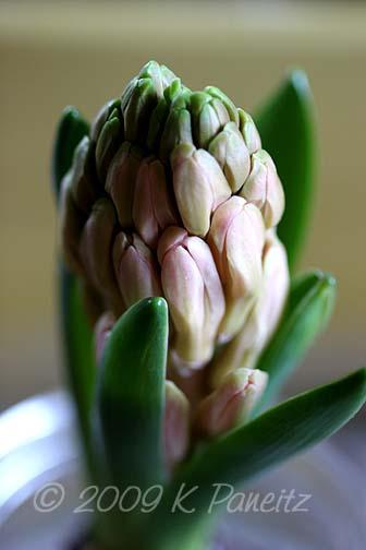 Forced Hyacinths4