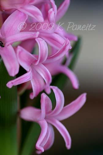 Forced Hyacinths9