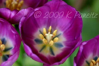Purple tulips3