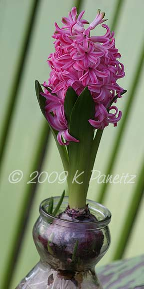 Forced Hyacinths12