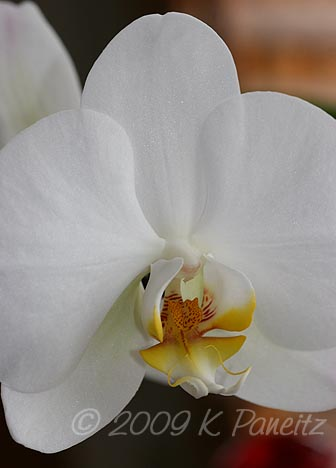 Orchid bloom7