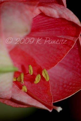 Amaryllis Pink Lady