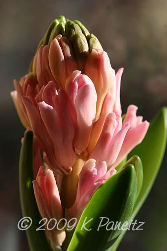 Forced Hyacinths5