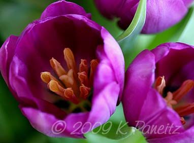 Purple tulips2