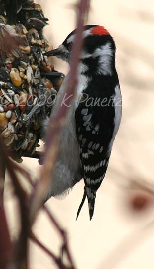 Downy Woodpecker4