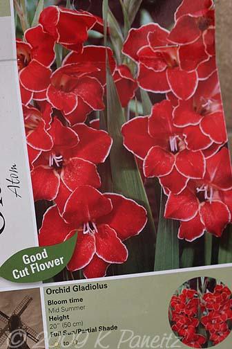 Orchid gladiolus