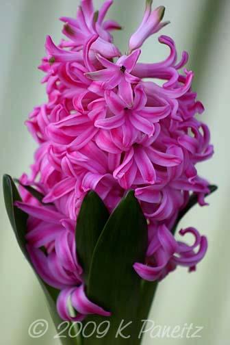 Forced Hyacinths11