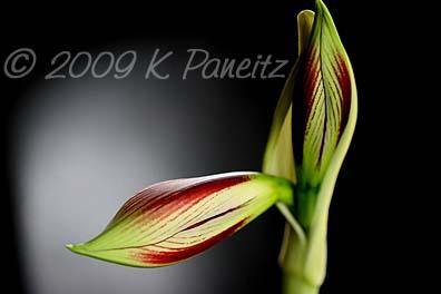 Amaryllis Papillio Bud1