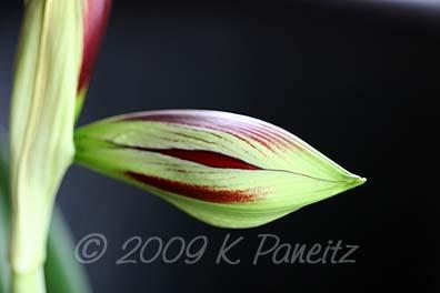 Amaryllis Papillio Bud