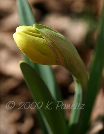 Daffodil bud1