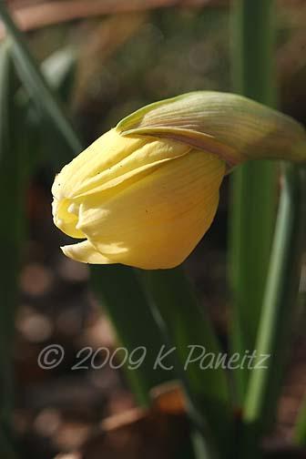 Daffodil bud3