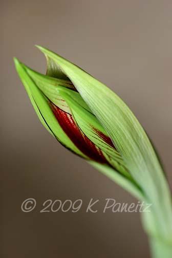 Amaryllis Papillio Bud2