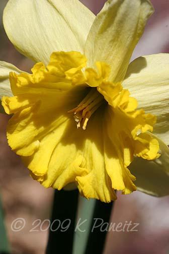 Daffodil bud4