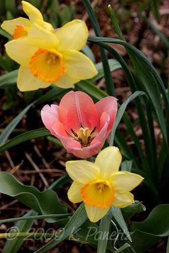 Salmon Tulip1
