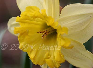 Daffodil bud5