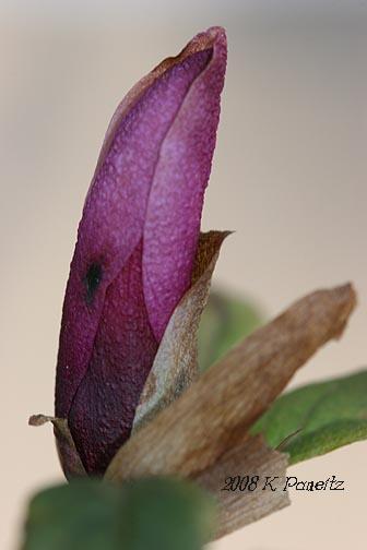 Magnolia Jane Bud