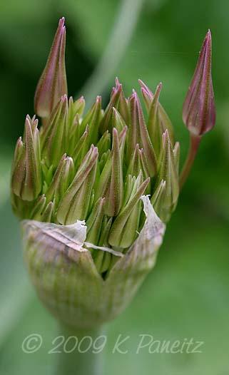 Allium cristophii bud1