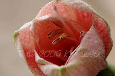 Amaryllis Queen of Hearts Bloom3