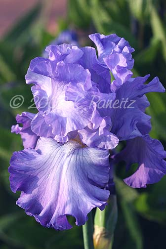 Blue Iris Bloom