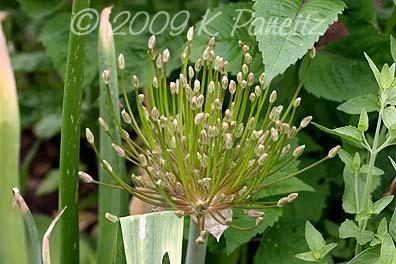 Allium Schubertii Buds