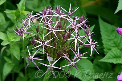 Allium cristophii bud4