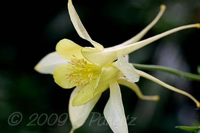 Aquilegia 'Chrysantha'2
