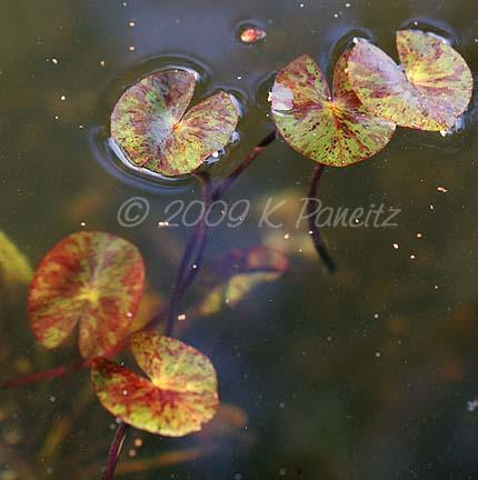 Water lily foliage
