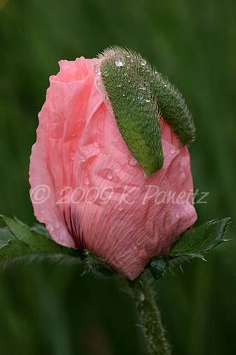 Salmon Poppy Bud1
