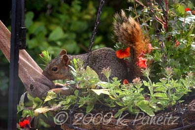 Squirrel at thistle sock