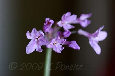 Tulbaghia Violacea flower