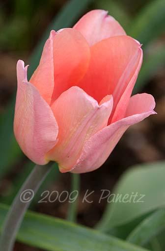 Salmon Tulip2