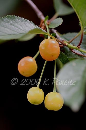Garden Tour Cherry Tree