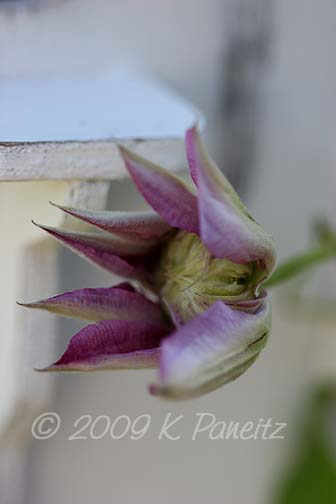 Clematis 'Josephine' Bloom
