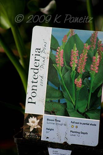 Pink Pickerelweed