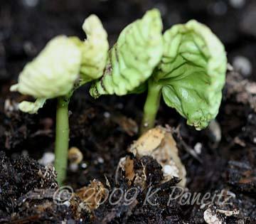 Moonflower seedlings