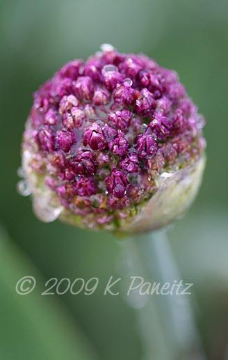 Allium bud1