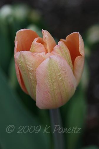 Salmon Tulip3