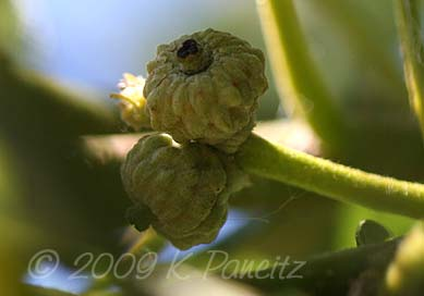 Bur Oak Developing Acorns
