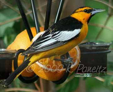 Bullocks Oriole on feeder2