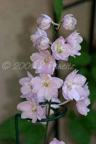 Pale Pink Delpinium