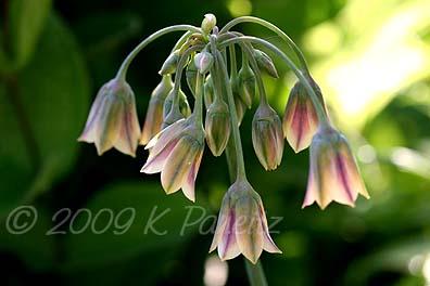 Allium Nectaroscordum Siculum1