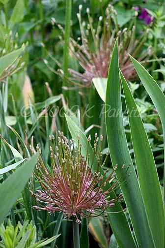 Allium Schubertii Blooms