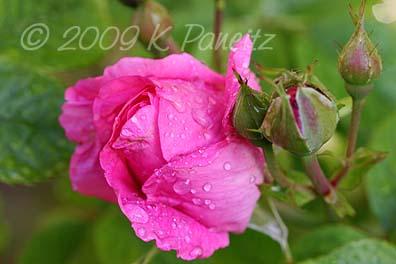 Pink rosebud